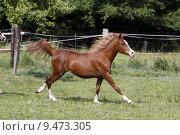 Купить «arab gelding gallop araberhengst araberstute», фото № 9473305, снято 21 марта 2019 г. (c) PantherMedia / Фотобанк Лори