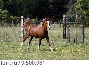 Купить «gelding gallop araberhengst araberstute araberwallach», фото № 9500981, снято 21 марта 2019 г. (c) PantherMedia / Фотобанк Лори