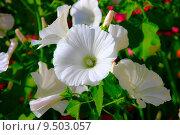 Лаватера-цветок. Стоковое фото, фотограф Бронислав Богачевский / Фотобанк Лори