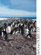 Купить «Gentoo Penguin Colony», фото № 9507117, снято 24 апреля 2019 г. (c) PantherMedia / Фотобанк Лори
