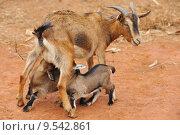 Купить «Goats feeding», фото № 9542861, снято 26 мая 2019 г. (c) PantherMedia / Фотобанк Лори