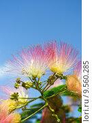 Купить «Flowers of acacia », фото № 9560285, снято 19 августа 2018 г. (c) PantherMedia / Фотобанк Лори