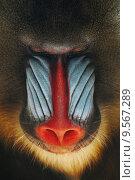 monkey mandril frontally baboon affenportrait. Стоковое фото, фотограф Viola Böhme / PantherMedia / Фотобанк Лори