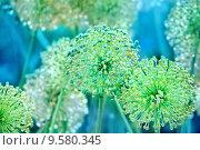 Купить «Зеленый декоративный лук в каплях утренней росы», фото № 9580345, снято 4 июля 2015 г. (c) Татьяна Белова / Фотобанк Лори