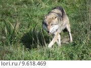 Купить «wolf lupus canis dog predator», фото № 9618469, снято 22 июля 2019 г. (c) PantherMedia / Фотобанк Лори