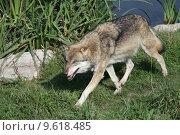Купить «wolf lupus canis dog predator», фото № 9618485, снято 22 июля 2019 г. (c) PantherMedia / Фотобанк Лори