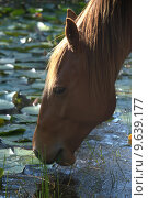 Купить «water head drink drinking horse», фото № 9639177, снято 22 января 2018 г. (c) PantherMedia / Фотобанк Лори