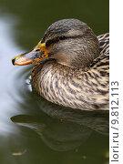 Купить «bird birds poultry duck waterfowls», фото № 9812113, снято 9 апреля 2020 г. (c) PantherMedia / Фотобанк Лори