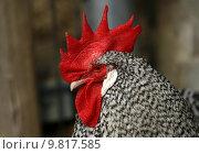 Купить «portrait race bird birds poultry», фото № 9817585, снято 15 декабря 2017 г. (c) PantherMedia / Фотобанк Лори