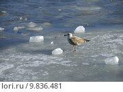 Купить «bird ice birds seagull gull», фото № 9836481, снято 27 марта 2019 г. (c) PantherMedia / Фотобанк Лори