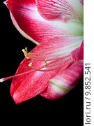 Купить «amaryllis flower against a black background», фото № 9852541, снято 31 мая 2020 г. (c) PantherMedia / Фотобанк Лори
