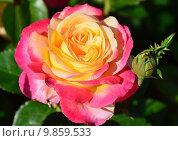 Купить «Роза чайно-гибридная Ориент Экспресс, Love and Peace (Восточный Экспресс) (лат. Orient Express)», эксклюзивное фото № 9859533, снято 14 августа 2015 г. (c) lana1501 / Фотобанк Лори