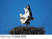 Купить «pair of storks», фото № 9860605, снято 17 июня 2019 г. (c) PantherMedia / Фотобанк Лори