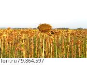 Потерянный урожай подсолнечника. Стоковое фото, фотограф Вячеслав Волков / Фотобанк Лори