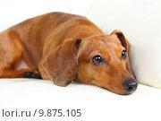 Купить «dachshund dog on sofa», фото № 9875105, снято 17 июня 2019 г. (c) PantherMedia / Фотобанк Лори