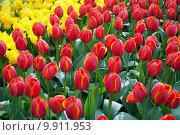 Купить «Яркие желтые и красные тюльпаны на клумбе», фото № 9911953, снято 29 апреля 2015 г. (c) Наталья Быстрая / Фотобанк Лори