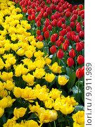 Купить «Яркие желтые и красные тюльпаны на клумбе», фото № 9911989, снято 29 апреля 2015 г. (c) Наталья Быстрая / Фотобанк Лори