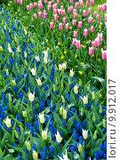 Купить «Яркие тюльпаны на клумбе», фото № 9912017, снято 29 апреля 2015 г. (c) Наталья Быстрая / Фотобанк Лори