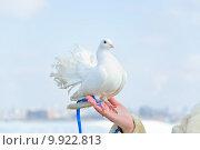 Купить «Белый почтовый голубь на руке», эксклюзивное фото № 9922813, снято 24 марта 2012 г. (c) Алёшина Оксана / Фотобанк Лори