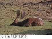 Купить «wild mammal fallow deer gregarious», фото № 9949913, снято 26 марта 2019 г. (c) PantherMedia / Фотобанк Лори