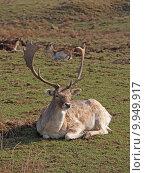 Купить «wild mammal fallow deer gregarious», фото № 9949917, снято 26 марта 2019 г. (c) PantherMedia / Фотобанк Лори