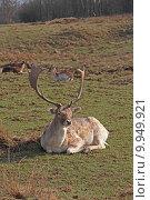 Купить «wild mammal fallow deer gregarious», фото № 9949921, снято 26 марта 2019 г. (c) PantherMedia / Фотобанк Лори
