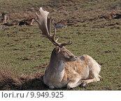 Купить «wild mammal fallow deer gregarious», фото № 9949925, снято 26 марта 2019 г. (c) PantherMedia / Фотобанк Лори