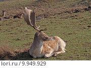 Купить «wild mammal fallow deer gregarious», фото № 9949929, снято 26 марта 2019 г. (c) PantherMedia / Фотобанк Лори