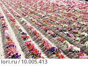 Купить «flower field, Provence, France», фото № 10005413, снято 23 октября 2019 г. (c) PantherMedia / Фотобанк Лори