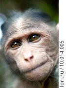 Купить «Rhesus Macaque - Macaca mulatta», фото № 10014005, снято 17 июня 2019 г. (c) PantherMedia / Фотобанк Лори