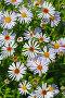Многолетняя Астра (Aster). Цветущий куст крупно, фото № 10029757, снято 17 августа 2015 г. (c) Евгений Мухортов / Фотобанк Лори