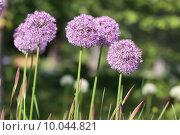 Купить «plant flower garden purple gardens», фото № 10044821, снято 15 октября 2018 г. (c) PantherMedia / Фотобанк Лори