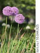 Купить «plant flower garden purple gardens», фото № 10044825, снято 15 октября 2018 г. (c) PantherMedia / Фотобанк Лори