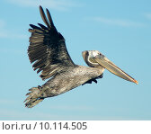 Купить «Pelican in flight. Photo taken at Bolsa Chica Wetlands, Ecological Reserve in Huntington Beach, California», фото № 10114505, снято 18 июня 2019 г. (c) PantherMedia / Фотобанк Лори