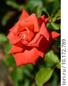 Роза чайно-гибридная Бьюти Стар (лат. Beauty Star), Fryer's Roses 1990. Стоковое фото, фотограф lana1501 / Фотобанк Лори