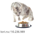 Купить «maine coon cat and cat food», фото № 10236989, снято 26 августа 2019 г. (c) PantherMedia / Фотобанк Лори