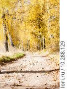 Купить «autumnal birch alley», фото № 10288129, снято 25 января 2020 г. (c) PantherMedia / Фотобанк Лори