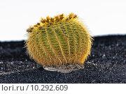 Купить «Cactus in Lanzarote island, Spain Echinocactus grusonii (Golden », фото № 10292609, снято 23 июля 2019 г. (c) PantherMedia / Фотобанк Лори
