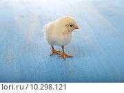Желтый цыпленок на голубом столе. Стоковое фото, фотограф Елена Блохина / Фотобанк Лори