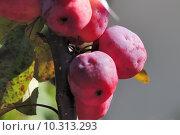 Купить «embellishment malus red sentinal rosengew», фото № 10313293, снято 22 января 2019 г. (c) PantherMedia / Фотобанк Лори