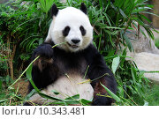 Купить «giant panda bear eating bamboo», фото № 10343481, снято 27 мая 2019 г. (c) PantherMedia / Фотобанк Лори