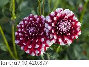 Купить «nature plant flower dahlia cutting», фото № 10420877, снято 15 декабря 2018 г. (c) PantherMedia / Фотобанк Лори