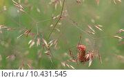 Купить «Два жука.Мягкотелка рыжая. (Лат.Cantharis  rustica, англ.  Soldier Beetle)», видеоролик № 10431545, снято 19 августа 2015 г. (c) Звездочка ясная / Фотобанк Лори