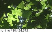 Купить «Кленовые листья в лучах света», видеоролик № 10434373, снято 19 августа 2015 г. (c) Звездочка ясная / Фотобанк Лори