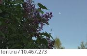 Купить «Сирень в белую ночь. Луна», видеоролик № 10467273, снято 20 августа 2015 г. (c) Звездочка ясная / Фотобанк Лори
