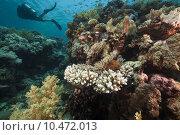 Купить «Scubadiver and tropical reef in the Red Sea. », фото № 10472013, снято 19 августа 2019 г. (c) PantherMedia / Фотобанк Лори