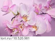 Цветы орхидеи фаленопсис. Стоковое фото, фотограф Екатерина Голубкова / Фотобанк Лори