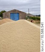 Купить «Wheat crop», фото № 10588541, снято 19 октября 2018 г. (c) PantherMedia / Фотобанк Лори