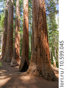 Купить «Yosemite National Park - Mariposa Grove Redwoods», фото № 10599045, снято 23 февраля 2019 г. (c) PantherMedia / Фотобанк Лори