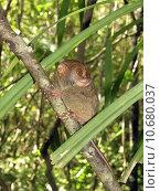 Купить «Philippine tarsier, Bohol », фото № 10680037, снято 19 марта 2019 г. (c) PantherMedia / Фотобанк Лори